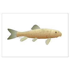 White Sucker fish 2 Posters