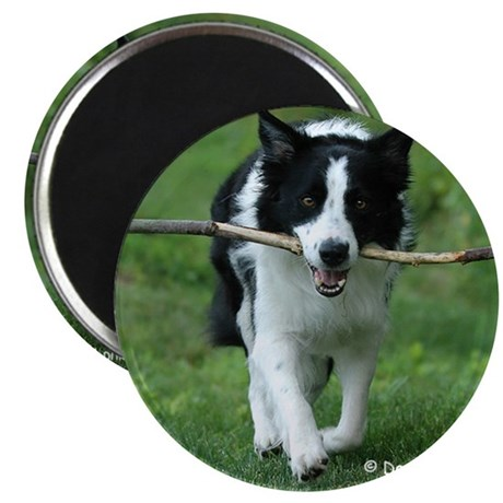 Border collie at play magnet