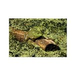 Bullfrog in green is King Rectangle Magnet (100 pa