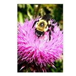 Bumble bee on Magenta Thistle Flower Postcards (Pa
