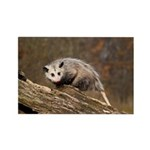 Opossum Rectangle Magnet (10 pack)