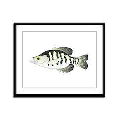 White Crappie sunfish fish Framed Panel Print