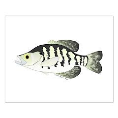 White Crappie sunfish fish Posters