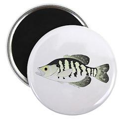 White Crappie sunfish fish 2.25