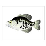 Black Crappie Sunfish fish Posters