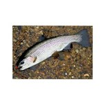 Taneycomo Rainbow Trout PS Rectangle Magnet (10 pa