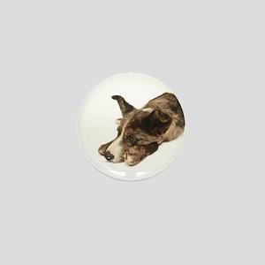 Adorable Rescue Australian Shepherd Mix Mini Butto