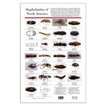 Staphylinidae Of North America Large Poster