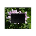 Redbud in MO Cercis canadensis f Picture Frame