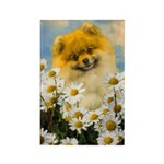 Pomeranian in Daisies Rectangle Magnet