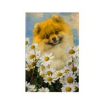Pomeranian in Daisies Rectangle Magnet (100 pack)