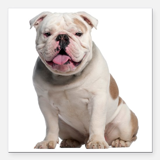 "Bulldog Square Car Magnet 3"" x 3"""