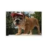 BULLDOG SMILES Rectangle Magnet (100 pack)