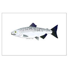 Chinook King Salmon f Posters