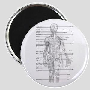 Human Anatomy Chart Magnet