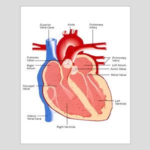 Human Heart Anatomy Small Poster