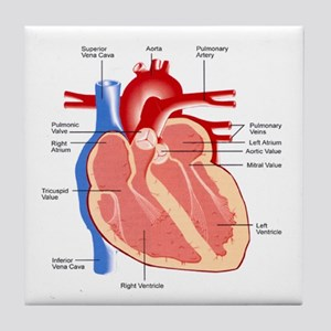 Human Heart Anatomy Tile Coaster