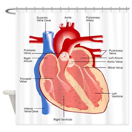 Human Heart Anatomy Shower Curtain By 1stopshoppingts