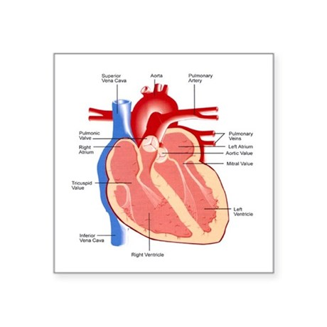 Square heart and lung diagram labeled electrical work wiring diagram anatomy square stickers cafepress rh cafepress com detailed heart diagram heart diagram not labeled ccuart Image collections