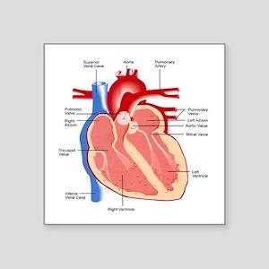 "Human Heart Anatomy Square Sticker 3"" x 3"""