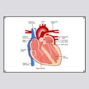 Human Heart Anatomy Banner