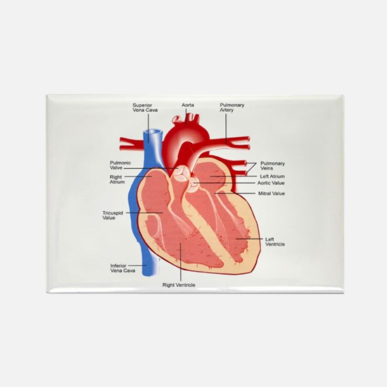 Human Heart Anatomy Rectangle Magnet