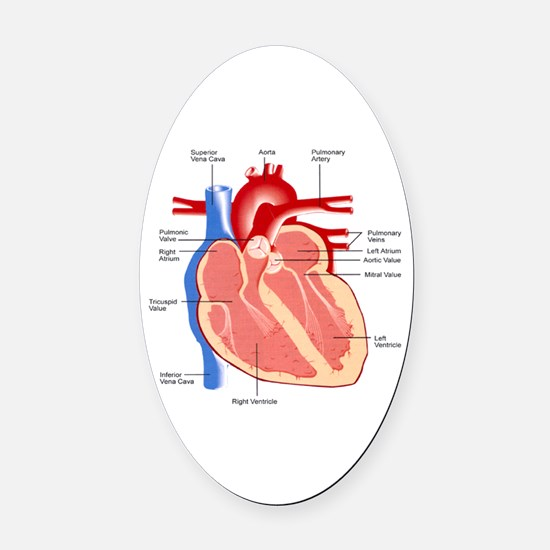 Human Heart Anatomy Oval Car Magnet