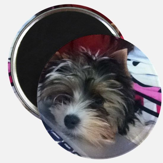 Biewer Terrier Puppy Magnet