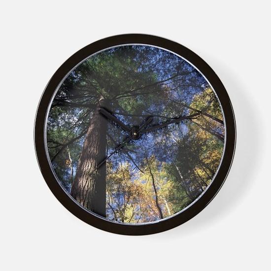 old growth hemlock tree Wall Clock