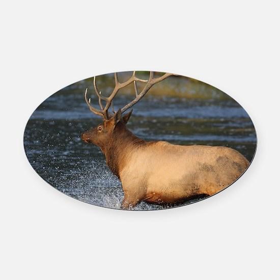 elk splashing in the water Oval Car Magnet
