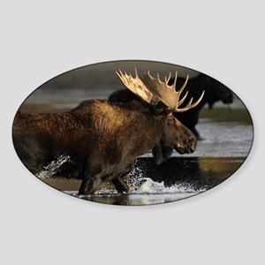 moose splashing in the water Sticker (Oval)
