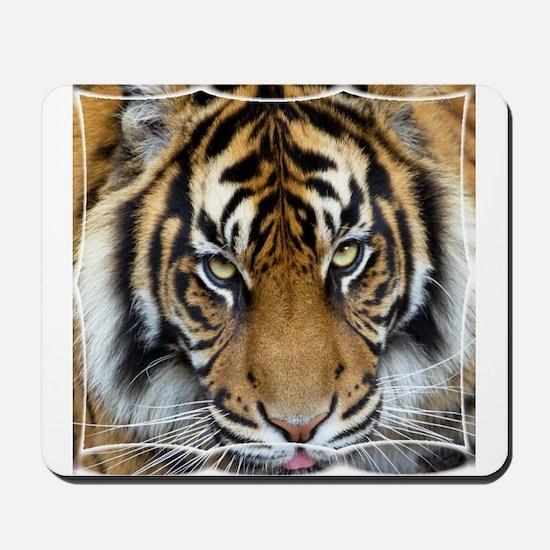 Focus on goal and success Sumatran Tiger King 2 Mo