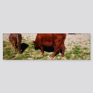 Highland Cattle Bumper Sticker