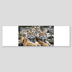 TIGERS Sticker (Bumper)