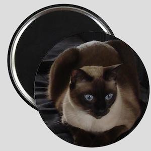 Lulú, the Siamese Cat Magnet